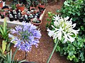 A@a And....garden flowers collection - panoramio (10).jpg