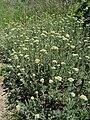 A.millefolium.jpg