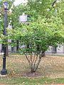 A21-1-Amelanchier laevis (Allegheny Serviceberry).JPG
