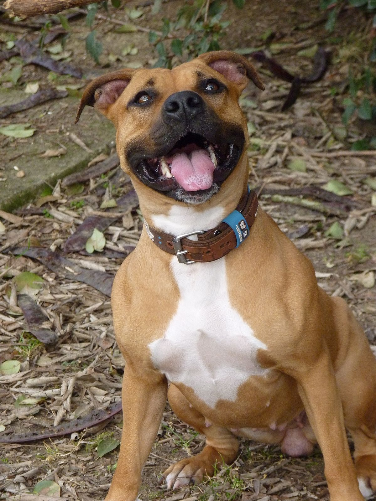 american staffordshire terrier simple english wikipedia
