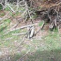 ASC Leiden - Rietveld Collection - 17 - Blackfoot penguin (Spheniscus demersus) near trees on Robben Island - 2015 (cropped).jpg