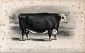 A Hereford ox. Etching by E. Hacker, ca 1850, after W.H. Dav Wellcome V0021634.jpg