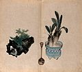 A bonsai tree on a rock and a cycad (Cycas revoluta) in a Wellcome V0043836.jpg