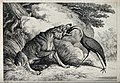 A crane standing with its beak down a wolf's throat. Etching Wellcome V0021606.jpg
