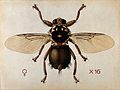 A horse fly (Hippobosca rufipes). Coloured drawing by A.J.E. Wellcome V0022554.jpg