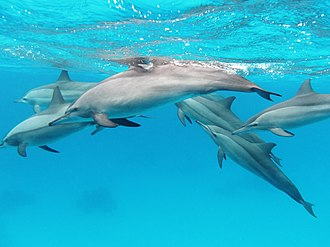 Spinner dolphin - Image: A pod of spinner dolphins in the Red Sea
