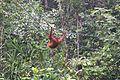 A swinging Orangutan (26039522614).jpg