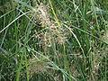 A water grass in Hokenakal.JPG