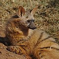 Aardwolf, Proteles cristata, at Lion and Rhino Reserve, Gauteng, South Africa (47987212743).jpg
