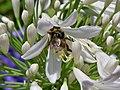 Abejorro sobre flor de agapanto.JPG