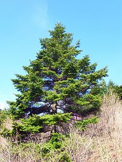 Abies koreana at Jirisan mountain 01.JPG