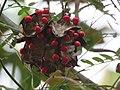 Abrus precatorius Rosary pea - at Mayyil (34).jpg