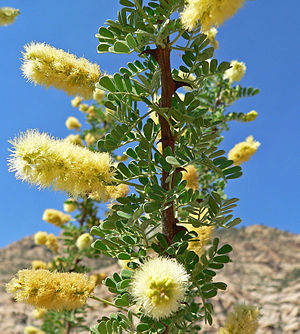 Wattle Day - Image: Acacia greggii 8