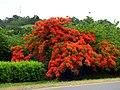 Acacia roja - Flamboyán (Delonix regia) (14091990089).jpg