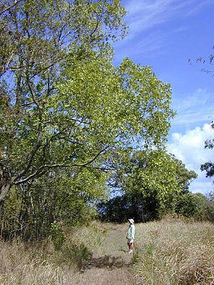Acacia auriculiformis - Image: Acaciaauriculiformis 1web