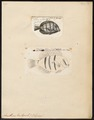 Acanthurus triostegus - 1700-1880 - Print - Iconographia Zoologica - Special Collections University of Amsterdam - UBA01 IZ13700029.tif
