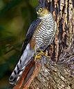 Accipiter erythronemius Horto Florestal de Sao Paulo, Brazil 1.jpg