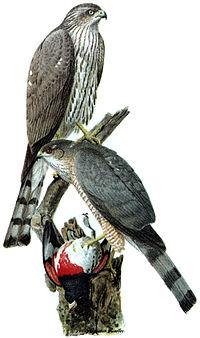 Accipiter striatusDO1908P02CA.JPG