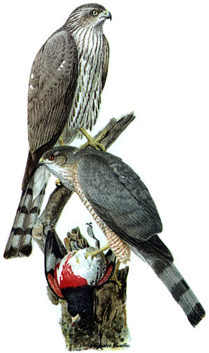 Accipitrinae - Sharp-shinned hawk