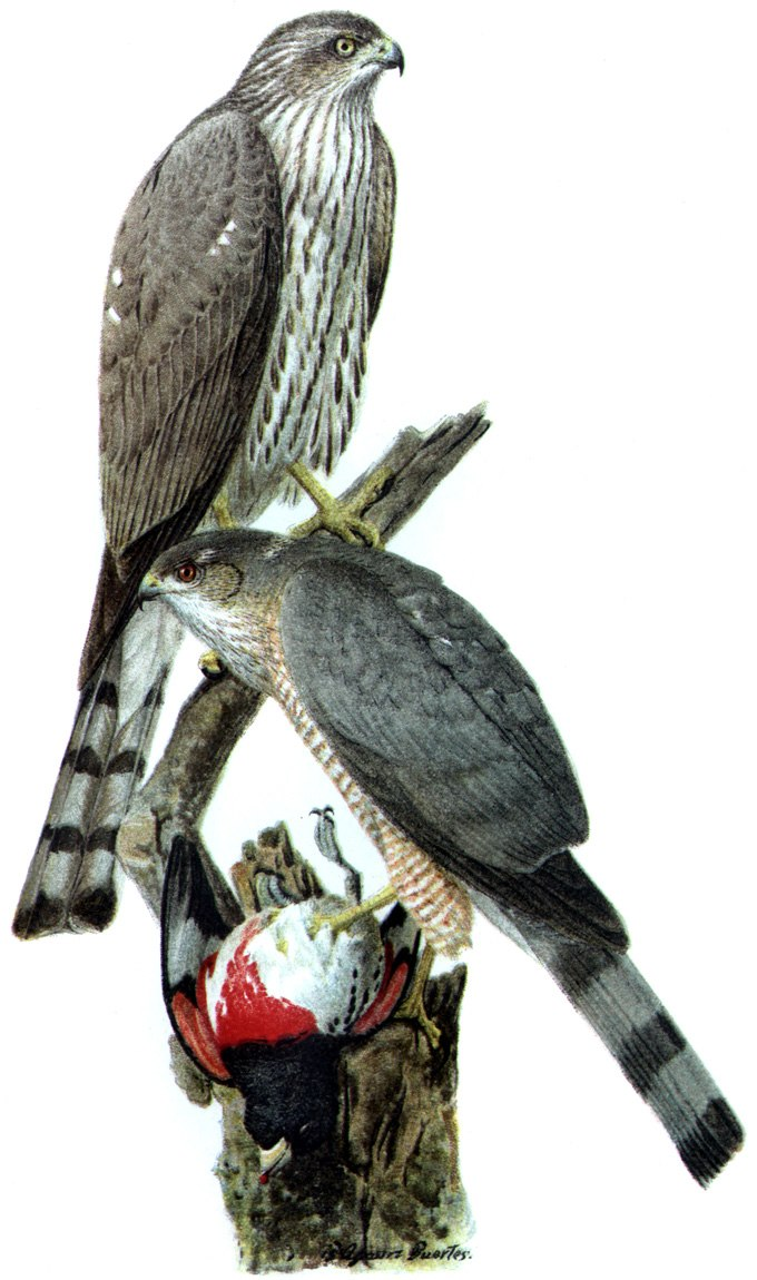 Accipiter striatusDO1908P02CA