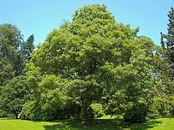 Jovaras medis vikipedija