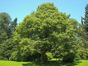 Acer pseudoplatanus - A. pseudoplatanus in the Bergpark Wilhelmshöhe, Kassel, Germany