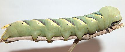 Acherontia atropos g2.jpg