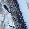 Acorn Woodpeckers (Melanerpes formicivorus).jpg