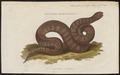 Acrochordus fasciatus - 1700-1880 - Print - Iconographia Zoologica - Special Collections University of Amsterdam - UBA01 IZ11900013.tif