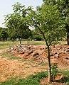 Adansonia digitata (Baobab)- young tree in Hyderabad W IMG 8273.jpg