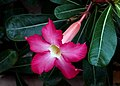 Adenium obesum. (desert rose) (25041159162).jpg
