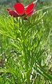 Adonis aestivalis inflorescence (07).jpg
