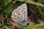 Adonis blue (Polyommatus bellargus) male underside.jpg