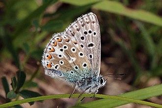 Adonis blue - Image: Adonis blue (Polyommatus bellargus) male underside