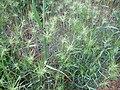 Aegilops geniculata Habitus 2010-5-08 DehesaBoyaldePuertollano.jpg