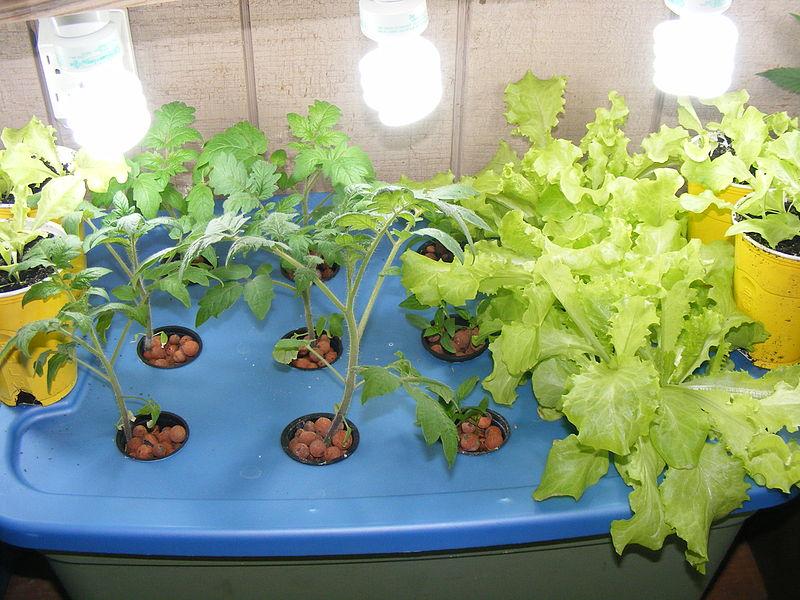 File:Aeroponic Plants.jpg