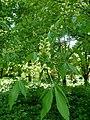 Aesculus flava Breuil 1.jpg