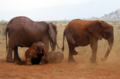 African Bush Elephants in Tsavo East National Park.png