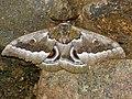 African Emperor Moth (Gonimbrasia zambesina) (12950591674).jpg