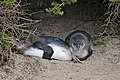 "African Penguins (Spheniscus demersus) ""blue"" juveniles resting ... (32118139803).jpg"