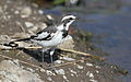 African Pied Wagtail, Motacilla aguimp in Kruger National Park (20132645308).jpg