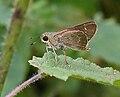 African Straight Swift (Parnara bada) in Narshapur forest, AP W IMG 1077.jpg