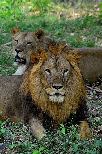Jamshedpur - African lions at Tata Steel Zoological Park
