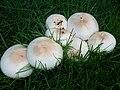 Agaricus californicus Peck 177128.jpg