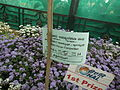 Ageratum houstonianum from Lalbagh Flower Show August 2012 4646.JPG
