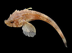 Agonus cataphractus.jpg