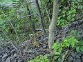 Ailanthusbark003.jpg