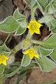 Aizoon canariense (Aizoaceae) (4968190394).jpg