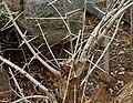 Alangium salviifolium in Keesaraguda, AP W IMG 9108.jpg
