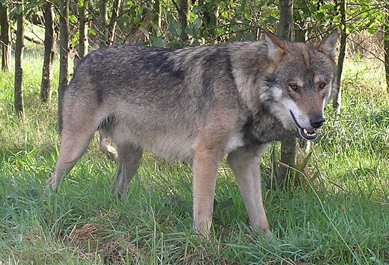 http://upload.wikimedia.org/wikipedia/commons/thumb/c/cd/Alba-European-Wolf.jpg/800px-Alba-European-Wolf.jpg